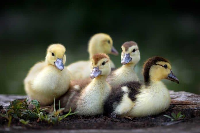 Raising Healthy Ducklings 101