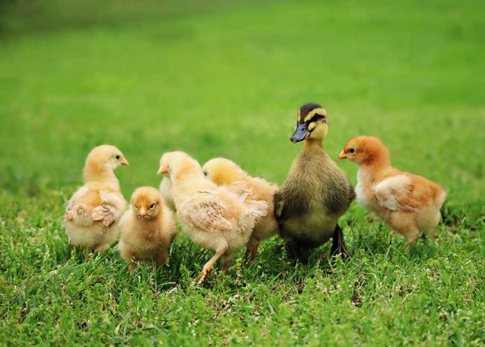 Which to Raise… The Duck or the Chicken