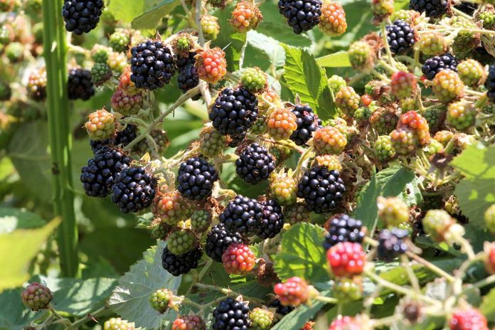 Foraging for Berries in the Wild