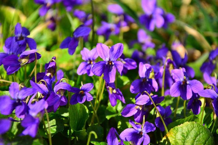 Sweet Violets Amazing Survival Uses