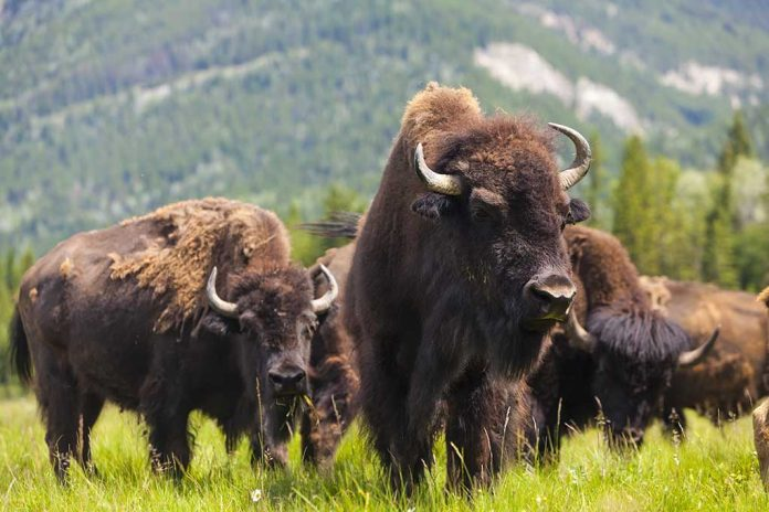 Why You Should Never Approach a Bison