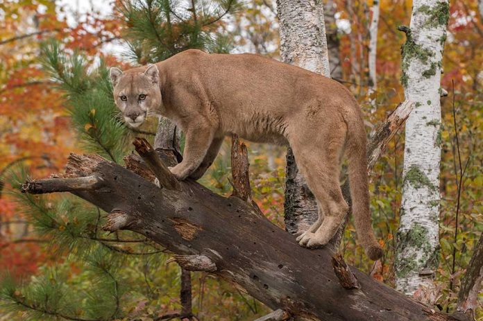 Staying Safe When Facing a Mountain Lion