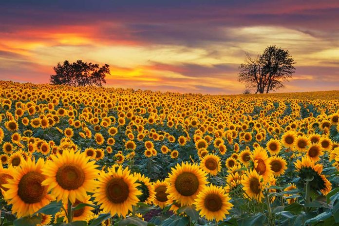 Sunflower Secrets That Can Save Lives